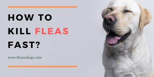 kill fleas on dogs instantly