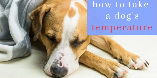 how to take a dogs temperature