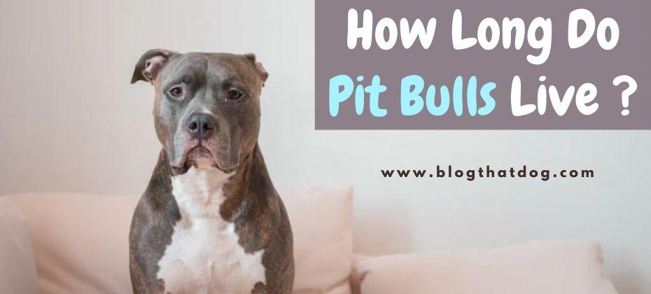 pit bull lifespan