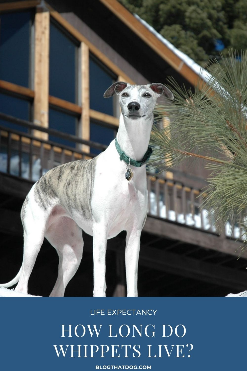 Whippet lifespan: How long do whippets live?