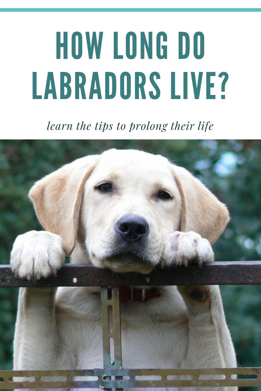 How long do labradors live? Labrador lifespan