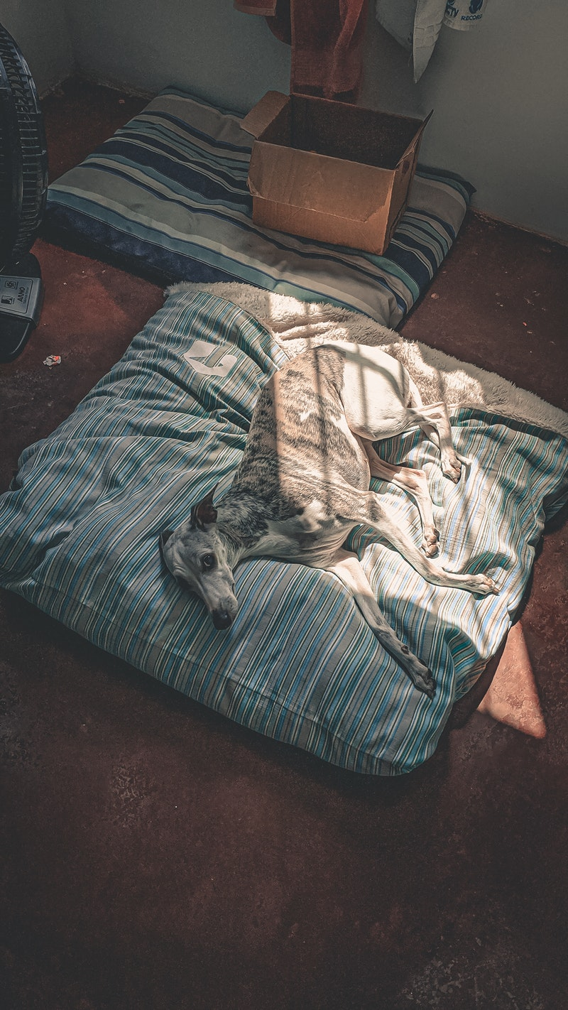 Lazy Whippet sleeps in his mattress.