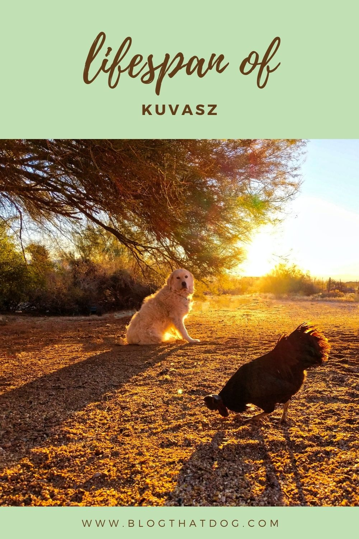 how long do kuvasz live