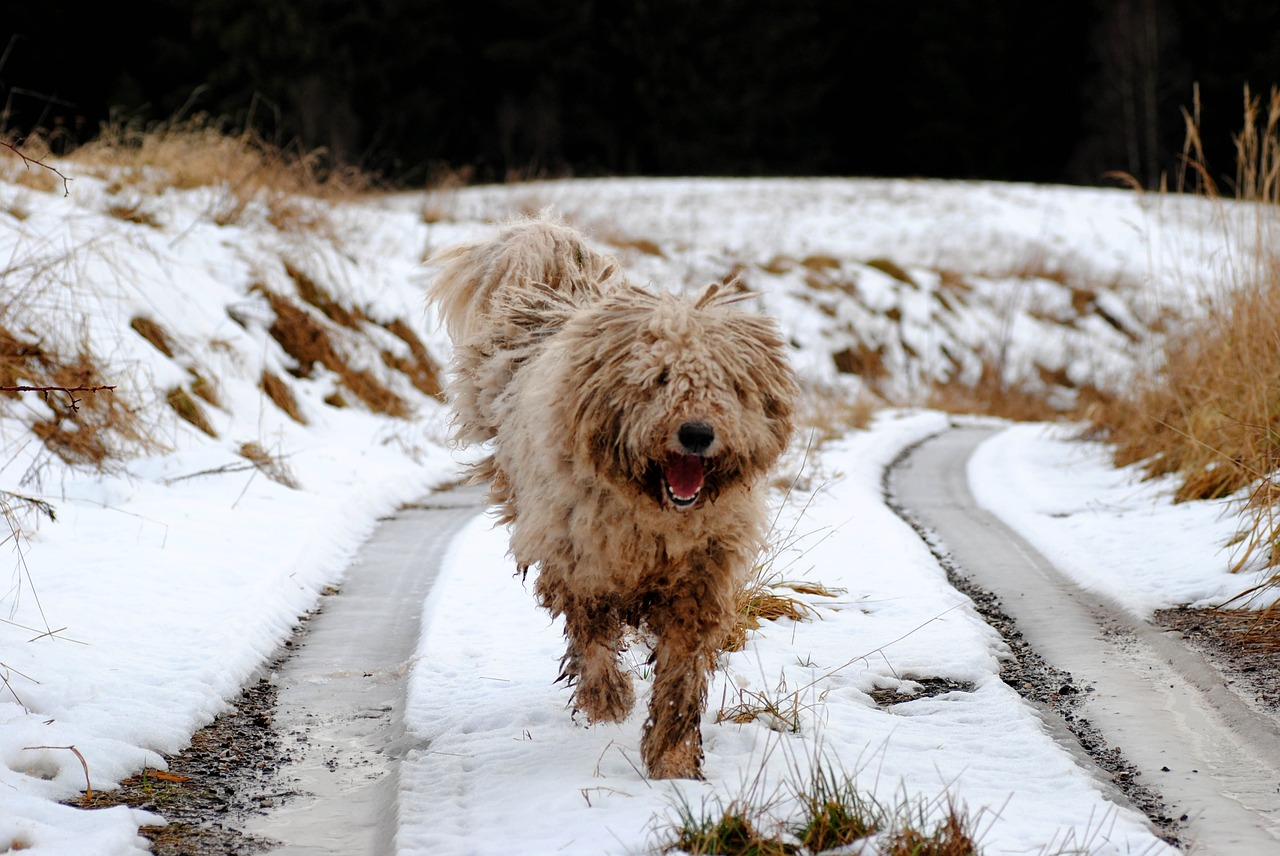 Komondor runs in snow.